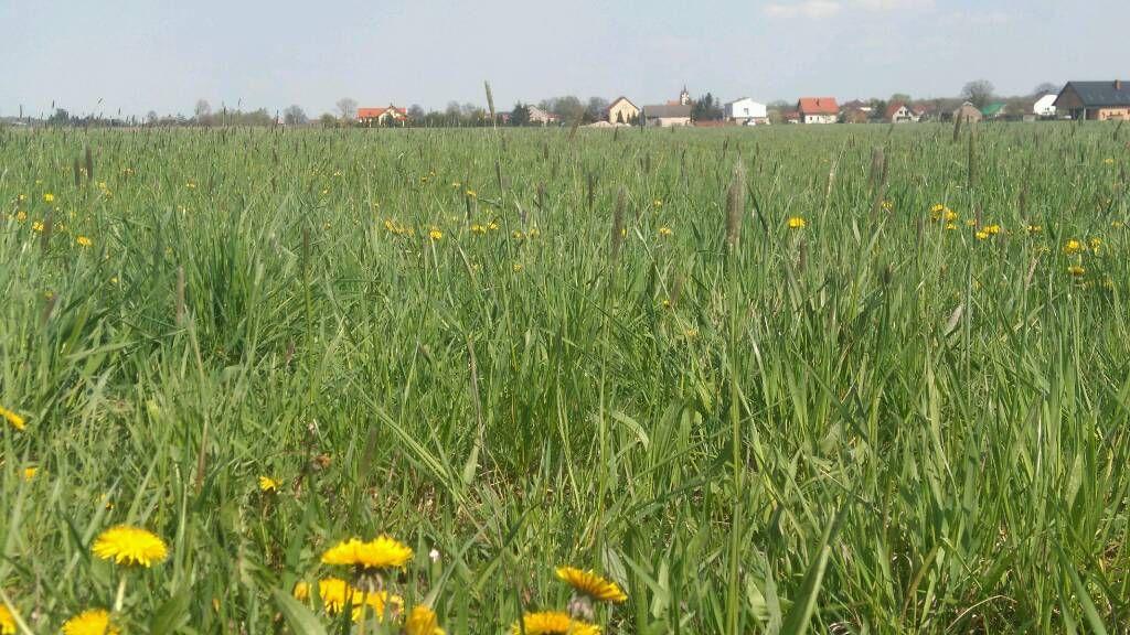 Wśród zielonych łąk...